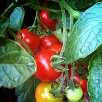 Jetzt haben wir den Salat: Taboulé a la Uli (Tomate 3 von 3)